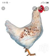 Dominant Amber Layer | Livestock & Poultry for sale in Greater Accra, Ashaiman Municipal