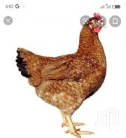 Dominant Red Barred | Livestock & Poultry for sale in Greater Accra, Ashaiman Municipal