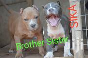 Young Female Purebred American Pit Bull Terrier   Dogs & Puppies for sale in Greater Accra, Dansoman