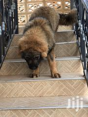 Young Male Purebred Caucasian Shepherd Dog   Dogs & Puppies for sale in Greater Accra, Dansoman