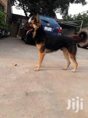 German Shepherd For Crossing | Dogs & Puppies for sale in Greater Accra, Mataheko