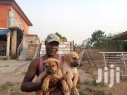 Baby Female Mixed Breed American Pit Bull Terrier   Dogs & Puppies for sale in Greater Accra, Ga West Municipal
