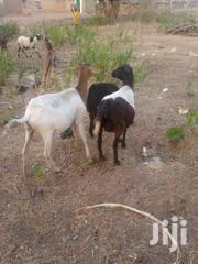 Sheep's For Sell   Livestock & Poultry for sale in Northern Region, Zabzugu/Tatale