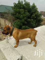 Pure Boerboel Male Ready For Matting( Crossing) | Dogs & Puppies for sale in Greater Accra, Odorkor