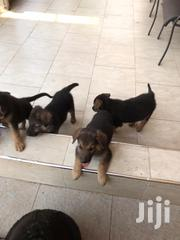 Baby Male Purebred German Shepherd Dog | Dogs & Puppies for sale in Greater Accra, Teshie new Town