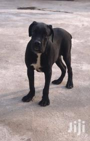 Baby Male Purebred Cane Corso | Dogs & Puppies for sale in Greater Accra, Dzorwulu