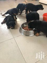 Rottweiler Dogs | Dogs & Puppies for sale in Central Region, Awutu-Senya