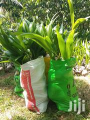 Dwarf Coconut | Feeds, Supplements & Seeds for sale in Greater Accra, Ga West Municipal