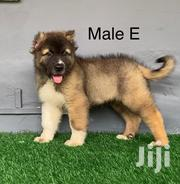 Young Female Purebred Caucasian Shepherd Dog | Dogs & Puppies for sale in Greater Accra, Dansoman