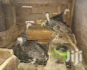 Young Turkeys | Livestock & Poultry for sale in Ashanti, Obuasi Municipal