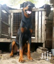 Young Male Purebred Doberman Pinscher | Dogs & Puppies for sale in Greater Accra, Osu
