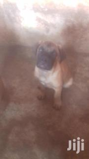Baby Male Mixed Breed Bullmastiff | Dogs & Puppies for sale in Ashanti, Kumasi Metropolitan