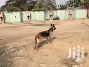 Adult Female Purebred German Shepherd Dog | Dogs & Puppies for sale in Greater Accra, Ga South Municipal