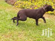 Young Female Purebred Labrador Retriever   Dogs & Puppies for sale in Greater Accra, Adenta Municipal