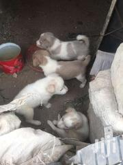 Puppies Dogs | Dogs & Puppies for sale in Ashanti, Kwabre