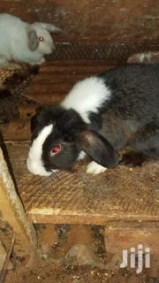 Rabbit For Sale | Livestock & Poultry for sale in Brong Ahafo, Asutifi