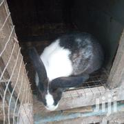 Rabbits For Sale | Livestock & Poultry for sale in Greater Accra, Ashaiman Municipal