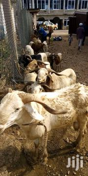 Sheep For Sell | Other Animals for sale in Northern Region, Zabzugu/Tatale