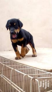 Baby Male Purebred Doberman Pinscher | Dogs & Puppies for sale in Greater Accra, Accra Metropolitan