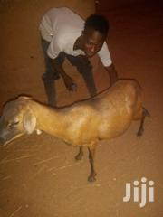 Sheep For Sale   Livestock & Poultry for sale in Northern Region, Zabzugu/Tatale