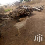 Healthy Goat For Sell | Other Animals for sale in Northern Region, West Gonja