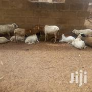Healthy Sheep For Sell | Other Animals for sale in Northern Region, West Gonja