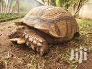Pure African Spurred | Reptiles for sale in Greater Accra, Ga South Municipal