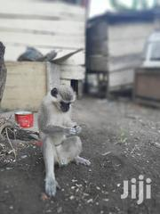 Monkey For Sale | Other Animals for sale in Central Region, Effutu Municipal
