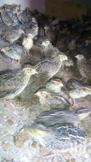 QUAILS AVAILABLE ON SALE | Livestock & Poultry for sale in Brong Ahafo, Asunafo South