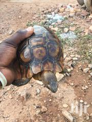 African Hinge Back Tortoise | Reptiles for sale in Greater Accra, Ga South Municipal