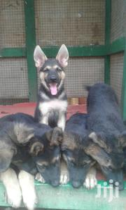 Baby Male Purebred German Shepherd Dog | Dogs & Puppies for sale in Greater Accra, East Legon