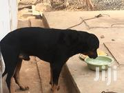 Adult Male Purebred Rottweiler   Dogs & Puppies for sale in Greater Accra, Tema Metropolitan