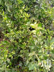 High Quality Tangerine Seedlings For Sale   Feeds, Supplements & Seeds for sale in Ashanti, Ahafo Ano South