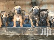 Baby Female Purebred Boerboel | Dogs & Puppies for sale in Greater Accra, Kwashieman