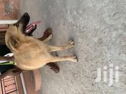 Young Female Purebred German Shepherd Dog | Dogs & Puppies for sale in Greater Accra, Teshie-Nungua Estates