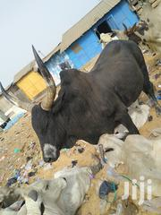 Caw And Goat Coll Price | Other Animals for sale in Northern Region, East Mamprusi
