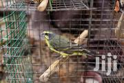 Canary Birds | Birds for sale in Greater Accra, Teshie-Nungua Estates