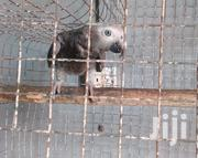 African Grey Parrot For Sale | Birds for sale in Greater Accra, Teshie-Nungua Estates