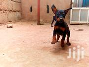 Young Male Purebred Doberman Pinscher | Dogs & Puppies for sale in Greater Accra, Kwashieman