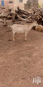 Healthy Goats For Sale | Other Animals for sale in Northern Region, West Mamprusi