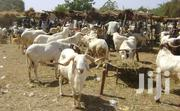 Sheep For Sale Affordable Prices | Other Animals for sale in Northern Region, Gushegu