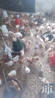 Day Old Bird Both Foreign And Local Supppl | Birds for sale in Greater Accra, Accra Metropolitan