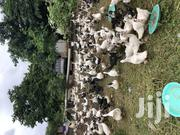 Ducks Of All Sizes For Sale | Livestock & Poultry for sale in Central Region, Gomoa East