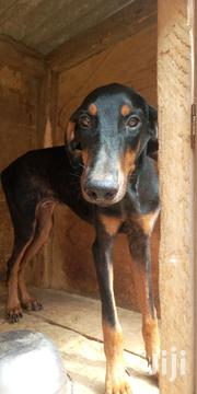 Young Male Purebred Doberman Pinscher | Dogs & Puppies for sale in Greater Accra, Accra Metropolitan