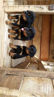 Baby Female Purebred Rottweiler | Dogs & Puppies for sale in Ashanti, Kwabre