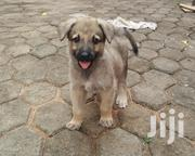 Baby Male Purebred German Shepherd Dog | Dogs & Puppies for sale in Greater Accra, Ga East Municipal