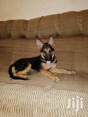 Baby Female Purebred German Shepherd Dog   Dogs & Puppies for sale in Greater Accra, Adenta Municipal