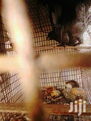 Western Grey Plantain Eater Or Western Plantain Eater | Birds for sale in Greater Accra, North Kaneshie
