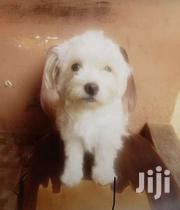Female Poodle For Sale | Dogs & Puppies for sale in Greater Accra, Adenta Municipal