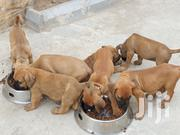 Young Male Purebred Boerboel | Dogs & Puppies for sale in Greater Accra, Adenta Municipal